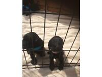 Cockerpoo puppy's