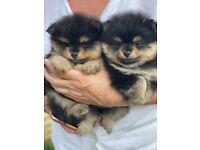 Pomeranian puppy's for sale
