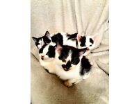 Turkish angora cross kittens