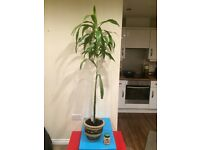 "Dracaena growing plant 62"" tall can deliver"