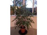 Beautiful Mature Weeping Fig tree - over 10 years old, 4 feet tall