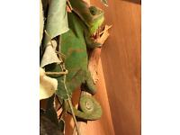 Lizard for sale