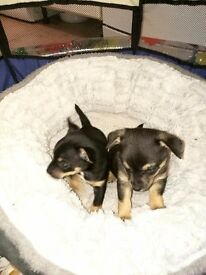 Chihuahua x jack russel puppies