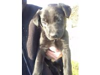 4 Beautiful Collie x Labrador Puppies for Sale