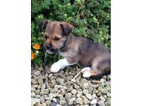 Beautiful Larkie puppies (Pedigree Lhaso apso x Purebred Yorshire terrier)
