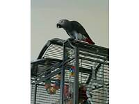 Baby African grey parrot and cage