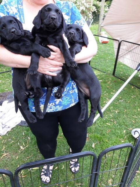 Black labrador puppies for sale | in Lewes, East Sussex | Gumtree