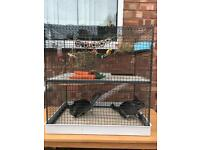 2 female chinchilla 20 months old