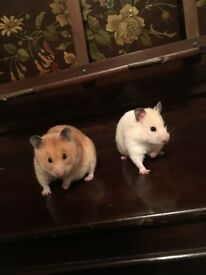 Two female hamsters free to a good home