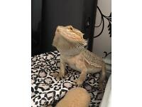 *REDUCED* Very friendly bearded dragon for sale