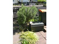 Large Rosemary Bush