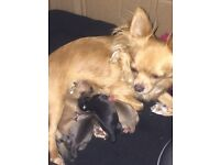 4 chihuahua pups for sale