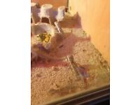 Lovely baby bearded dragons for sale