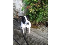 For sale cross staffie/collie