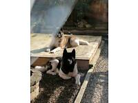 beautiful akita BITCH pups