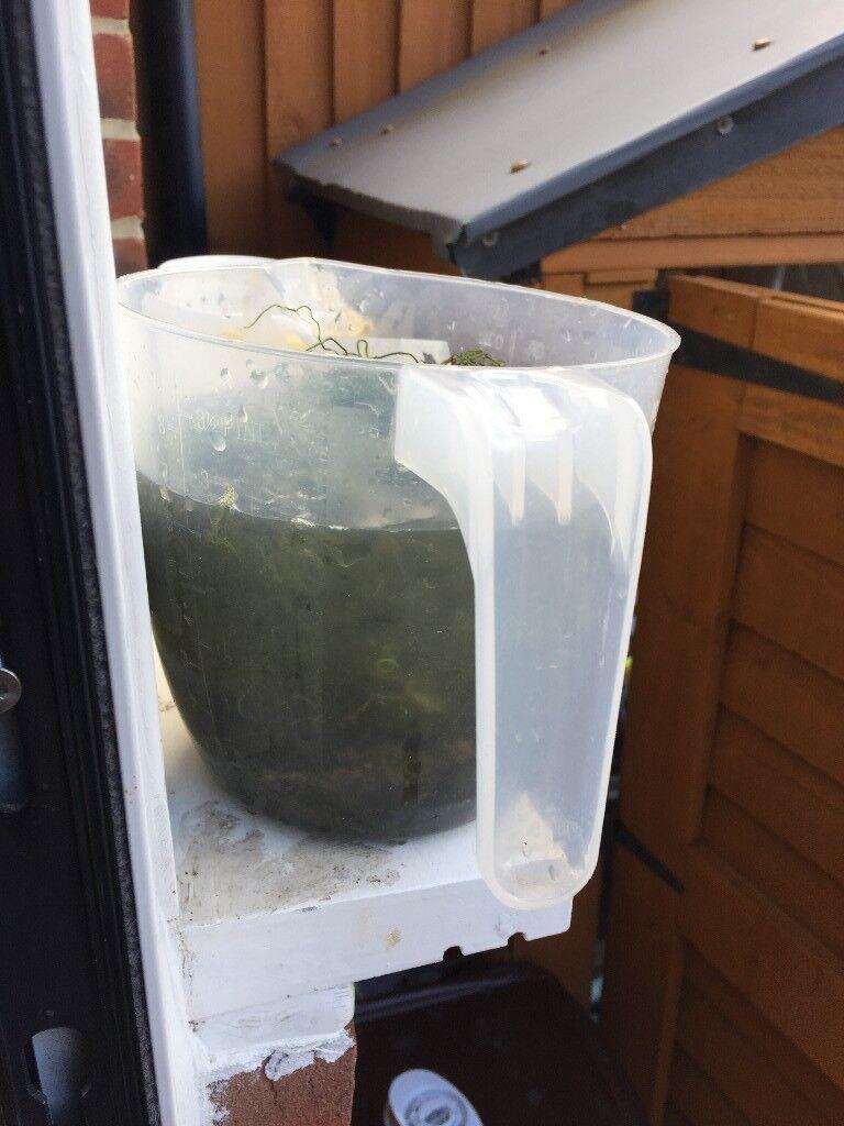 Cheato sump algae for free