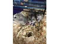 Winter white/ Russian drawf hamsters