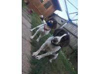 Ready in 3 weeks- English Springer Spaniel puppies
