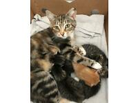 Healthy beautiful vet checked fluffy kittens