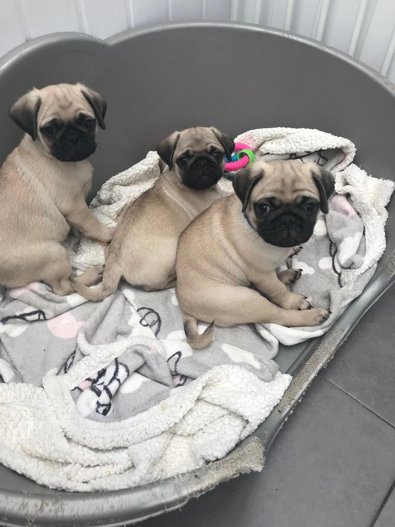 Pug Puppies KC Regstered only 1 left‼️