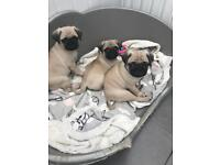 Pug Puppies KC Regstered