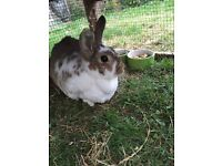 Rabbit and dubble hutch