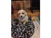 Cavachon Puppy 11 Weeks old for sale