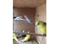 Beautiful baby Budgies 8/9 weeks old, 3 new unused cage for extra cost