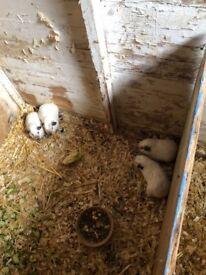 Baby himalayan gineau pigs