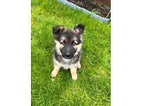 Beautiful German Shepherd puppy