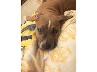 Beautiful mastiff cross puppy for sale!