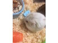 2 dwarf Russian hamsters