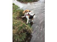 Beautiful 10 month old beagle