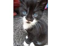 4 kittens ONLY BLACK LEFT