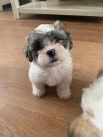 Shichon pups