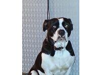 American bulldog x pressa canario needs loving home due to my new work commitments