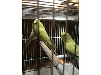 Leicester Budgies for sale braunstone le3 bird
