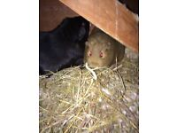 Three male Guinea pigs for sale