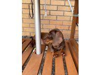 Miniature dachshund ready now