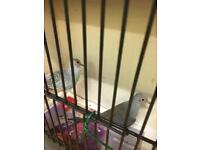 Dimond Dove for sale