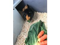 Two 1 year old guinea pigs for rehoming