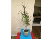 "Dracaena growing plant 52"" tall can deliver"