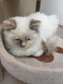 Tortie carrying red Ragdoll cat/kitten both now reserved