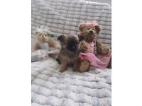 Beautiful chihuahua cross pomeranian puppy