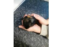 1 Male Guinea Pig Not neutered