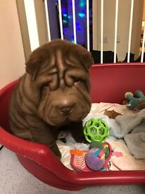 Beautiful chocolate boy Shar-pei Puppy FOR SALE. KC Registered.