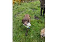 Foxy's dog walking service