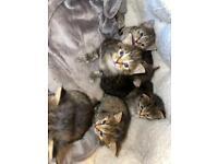 Cat Tabby Kitten