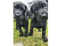 Springador Pups *only 3 left*