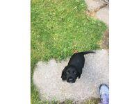 Cocker spaniel dog pup